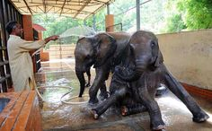 KARACHI: May04 – A zoo worker giving bath to the elephants at Karachi Zoo, due to extremely hot weather condition in the metropolis.