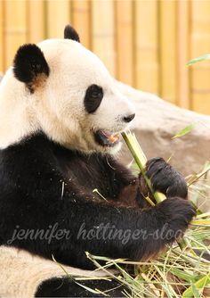 By jhs panda Toronto Zoo, Panda Bear, Animals, Animais, Animales, Animaux, Pandas, Animal, Panda Bears