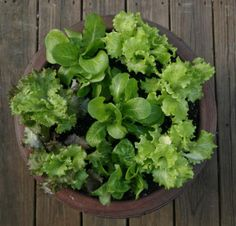 The beginnings of a salad are as close as the patio with lettuce grown in a pot. Photo: John Everett, For The Chronicle