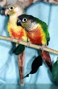 Pineapple Green-Cheeked Conure on the left, and a Yellow-sided Green-Cheeked Conure at right.