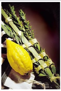 Celebrate your Sukkot holiday with a traditional set of the Arba Minim (Four species) grown with care at special Citron orchards in central Israel. Your Premium selected* Lulav and Etrog Kit includes: Yom Kippur, Comida Kosher, Lulav And Etrog, Israel, Cultura Judaica, Feasts Of The Lord, Simchat Torah, Feast Of Tabernacles, High Holidays