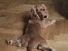 "Determine more information on ""cocker spaniel dog"". Check out our internet site. Cute Dogs And Puppies, I Love Dogs, Pet Dogs, Dog Cat, Doggies, Black Cocker Spaniel, Cocker Spaniel Puppies, English Cocker Spaniel, Baby Animals"