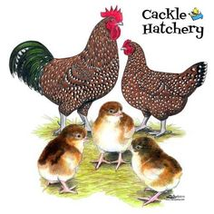 Speckled Sussex Chickens Image