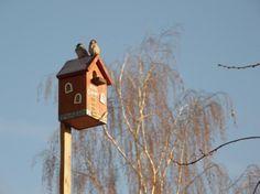 Начало апреля - лучшее время, чтобы начать вешать скворечники. Поэтому неплохо было бы поговорить о том, как это правильно сделать. Чего хотят птицы, выбирая скворечник? В первую очередь, безопасности и комфорта. Отсюда и пляшем. Сковречники вешаем на высоте 3-4 метра, если это деревня, дача, парк, в общем место тихое и спокойное, и повыше (8-10м) в городах с их шумом и суетой.