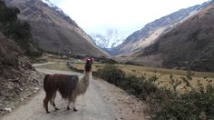 The alpaca welcomes us on the Choquequirao trek! #XtremeTourbulencia #Choquequirao #Cusco #Peru