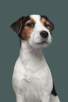 Funny dogs sayings so cute Ideas Jack Russell Terriers, Animals And Pets, Funny Animals, Cute Animals, Dog Quotes Funny, Funny Dogs, Funny Sayings, Funny Memes, Pet Dogs