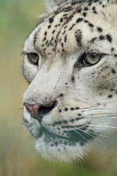 Clouded Snow Leopard; Beautiful Face.