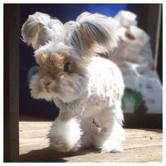 Meet Wally the English Angora. He's got a cute haircut that makes his ears look like little wings. #rabbits #hairdos
