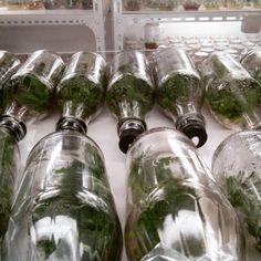 Vanda in vitro