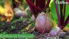 Wenn Sie Ihr Gemüsebeet richtig planen, ist das schon die halbe Ernte. So bringen Sie Fruchtwechsel und Mischkultur unter einen Hut – und der Boden bleibt trotz intensiver Nutzung gesund.