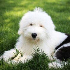Meet Bernadette the Old English Sheepdog on Pack Old English Sheepdog Puppy, English Dogs, Sheep Dogs, Pet Dogs, Doggies, Happy Animals, Cute Animals, Cute Puppies, Dogs And Puppies