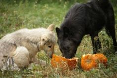 Pictures by Monty Sloan Happy Halloween Pictures, Beautiful Wolves, Grey Wolves, Horses, Tumblr, Men, Food, Animaux, Foxes