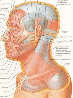 Netter 021 facial express Anatomy, Facial, My Life, Abstract, Artwork, Human Body, Summary, Work Of Art, Facial Care