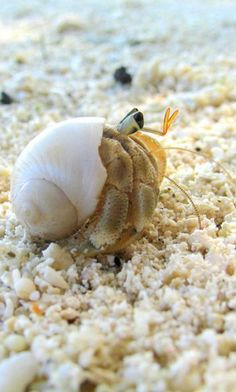 little Hermit Crab