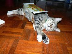 Even if the box does not fit, a cat will find a way.