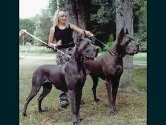 Dänische Doggen schwarz