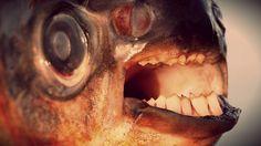 Un pescatore, nei pressi di Marysville, Washington, ha pescato un altro pesce mangia-testicoli http://tuttacronaca.wordpress.com/2013/10/03/pacu-il-pesce-mangia-testicoli-trovato-a-washington/