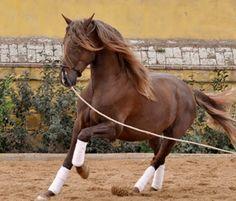 P.R.E. Hengste findet ihr auf ehorses.de Mehr Info's zu diesem P.R.E. gibt's hier:  http://www.ehorses.de/pre-hengst-4jahre-165-cm-fuchsdressurpferd-freizeitpferd-madrid/1123173.html