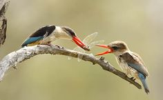 Brown Hooded kingfisher by Wild4 African Photographic Safaris: