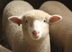 Sheep are fantastic animals, and make great additions to most homesteads. They provide nutritious meat and milk, and warm wool for fabrics. If you've been mulling over the idea of adding a flock to your back 40, consider these words of wisdom from veteran shepherd Sarah Hoffman of Green Dirt Farm in western Missouri.