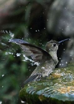 http://antpitta.com/images/photos/hummers/gallery_hummers8.htm