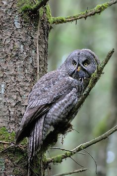 Great Gray Owl #BirdsofPrey #BirdofPrey #Bird of Prey #LIFECommunity
