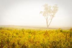 Fine Art Landscape Photography: Dreams of Goldenrod and Fog. Canvas Wraps, Limited Edition Fine Art Prints and downloads for mobile devices and desktops are available. Visit our landscape photography gallery for more details.