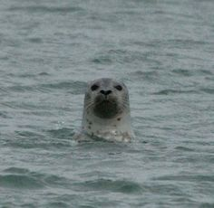 Harbor Seals are hanging out by the Western Sea most nights at dinner time!
