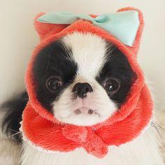 いいね!216件、コメント11件 ― nikomamaさん(@nikochin.1029)のInstagramアカウント: 「ねこ帽 😂😂 #犬#狆#ぶさかわ#鼻ぺちゃ犬#dog#わんこ#いやしわんこ#犬服#多頭飼い#かぶりもの#หมา#japanesechin#chinstagram#dogstagram」