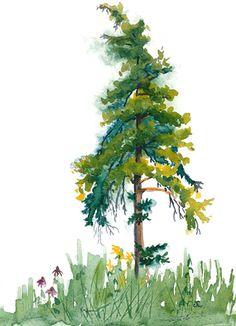 Scrawny Pine Watercolor Sketch                                                                                                                                                      More
