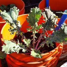 #kale #TeachEverywhereGrowAnywhere learn-and-grow.org