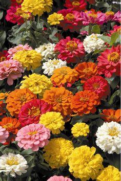 Zinnias make a great cutting flower for a fall garden party