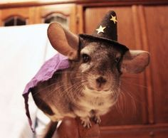 Okay, This is EPIC. Harry Potter Chinchilla costume? You're kidding, right?