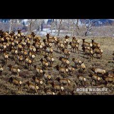 Elk herd in Yellowstone National Park  http://RobsWildlife.com  #Elk #Bullelk #Wildlife #yellowstone @yellowstonenationalparkguide @yellowstonenps #yellowstonenationalpark #earthcapture #ig_nature #animal #wildlifephotography #canon #itsallaboutthewildlife #bestwildlife #utahphotographer #naturelovers #unpublished #antlers #wildlife_seekers #earthpix #igbest_shotz #natgeo #natgeoyourshot #splendid_earth @worldbestshot #snap_wildlife #nationalgeographic