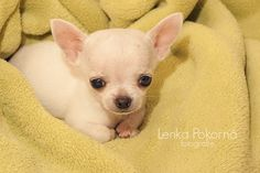 Chihuahua 2 month old first photo :-)