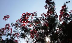 Reds Rush in the Summer of 2015 @Nesamonynager, Nagercoil