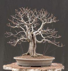 Encontrado en Google en walter-pall-bonsai.blogspot.com