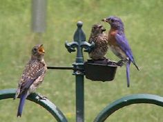 Bluebird Mom feeding babies.