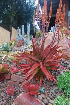 Aloe in Encinitas Garden. Love aloes, I grow them indoors as wouldn't survive the scottish climate Drought Tolerant Garden, Planting Succulents, Trees To Plant, Flowering Succulents, Cactus Plants, Plants, Cacti And Succulents, Planting Flowers, Xeriscape