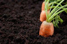 Cómo sembrar Zanahorias y evitar los problemas típicos
