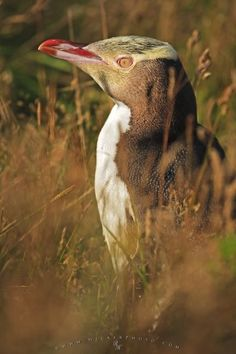 Photo of a Yellow Eyed Penguin at the Penguin Place Reserve, Otago, South Island, New Zealand