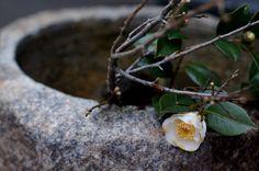 Camellia japonica 椿の花
