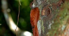 Arapaçu-de-bico-comprido
