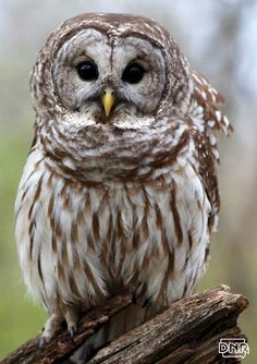 Learn how to identify barred owls and other Iowa animals   Iowa DNR