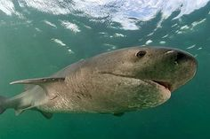 Cow sharks are a family of sharks characterized by an additional pair or pairs of gill slits (6 or 7 slits on each side vs. 5). They are considered the most primitive of all the sharks, because their skeletons and appearance resemble those of ancient extinct forms, with few modern adaptations