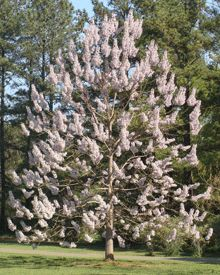 The Royal Empress Tree: Fastest growing flowering tree in the world, with  huge, fragrant purple blooms that look like orchids.