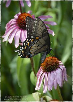 Black Swallowtail on cone flower by Gloria Hansen 2013
