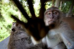 Macaque monkeys in Ubud, Bali, Indonesia
