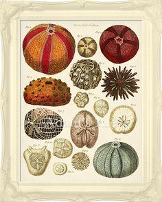 Vintage Seashell Art Poster: Very Colorful Sea Urchins From British Natural History Circa 1783 Text. $18.00, via Etsy.