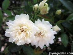 White Lady Bank's Rose - flowers in late winter/spring.